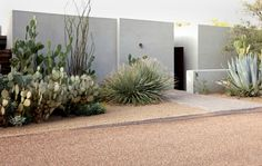 Cactus Curb Appeal-shallow entry garden (which leads to a courtyard) is planted with Dasylirion, Ocotillo (Fouquiria splendens), and common prickly pear (Opuntia ficus-indica), Opuntia 'Santa Rita' Dry Garden, Garden Care, Mediterranean Garden Design, Desert Plants, Contemporary Garden, Landscaping Plants, Landscaping Ideas, Arizona Landscaping, Ficus