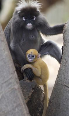 Dusky Leaf Monkeys or Dusky Langurs are native to Malaysia, Myanmar and Thailand. The baby will lose that brilliant coloring by the time she's three months and will begin to turn grey to match the rest of her family.