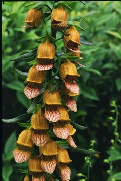 Digitalis laevigata seeds A sun loving perennial with fascinating orange yellow flowers netted brown. The flowering stems make side branches prolonging the flowering. From the Botanic Nursery Brown Flowers, Large Flowers, Yellow Flowers, Unusual Flowers, Herbaceous Perennials, Hardy Perennials, Color Plan, Growing Seeds, Plant Nursery