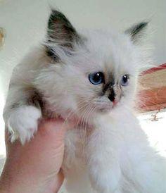 Bellissime gattine razza Sacro di Birmania colore Seal Tortie Point di 3 mesi vaccinate sverminate genitori visibili con pedigree anfi