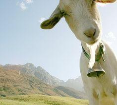 Hier kann man die rechteckigen Pupillen der Ziege gut erkennen. #GesineSchulz www.gesineschulz.com #Irland #Ireland (Foto via @Nicole Hildenbrand )
