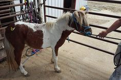 #9337 - 5 yr old sorrel paint mini stud. Price: $275 PayPal - mcbarronhorses@yahoo.com - choose Goods & Services option, and include the assigned # of the equine you're purchasing. Also be sure to include your name, email address, and phone #. Echecks not accepted. Location: Kaufman County, Texas (Forney) Shipping Deadline: Sunday, Oct 4th - 4 pm
