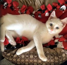 Available for adoption - Mr. Frost is a male cat, Siamese Mix, located at All Cats Rescue in Sioux Falls, SD.
