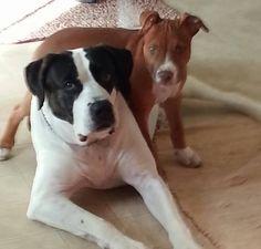 Moosie and Diezel. #pitbull #dogparkpublishing www.dogparkpublishing.com www.facebook.com/ittypitties