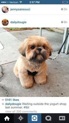 If I get a shih tzu puppy someday, I want it to have this haircut! by AislingH Perro Shih Tzu, Shih Tzu Puppy, Shih Tzus, Cute Puppies, Cute Dogs, Dogs And Puppies, Doggies, Baby Animals, Cute Animals