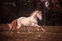 Silvana Pavlovic. PRE Stallion Curro.