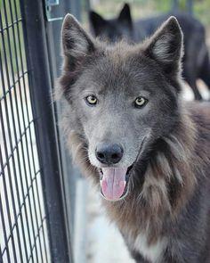 Azure, wolfdog