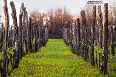 Trte še spijo – na obisku v Vinogradu Steras #JakaIvancic // Sleeping vineyards
