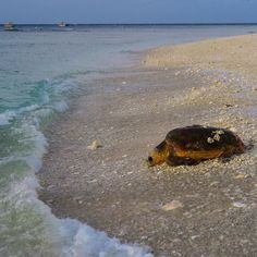 """""""She was free in her wildness. She was a wanderess a drop of free water. She belonged to no man and to no city.""""  Roman Payne  ____ Loggerhead mamma making her way back to the water after a nesting attempt. It's incredible that they have been doing this for 65million years!  _____ #ladyelliotisland #greatbarrierreef #southerngreatbarrierreef #visitfrasercoast #ocean #mermaid #mermaidlife #happiness #gratitude #waterlust #turtle #seaturtle #underwater #instagood #instadaily #ig_australia…"""