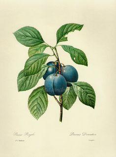 Plums botanical print | VintageInclination, Etsy