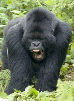 gorillas - Bing Images