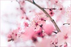 pink flowers / flores cor-de-rosa