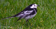 Irish Wildlife Trust: Pied Wagtail.  Photo by Dick Glasgow.