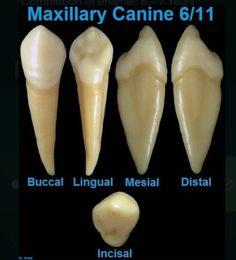 Dental World, Dental Life, Dental Art, Dental Teeth, Dental Assistant Study, Dental Hygiene School, Dental Hygienist, Dental Anatomy, Teeth Pictures