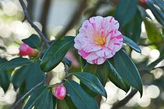 Camellias have been the pride of southern gardeners for many years. Add these beautiful blooms to your garden. Camellia Tree, Camellia Plant, Perennial Garden Plans, Shade Shrubs, Garden Balls, Garden Planning, Garden Plants, Garden Landscaping, Perennials