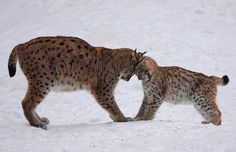 Playing Lynxes    Bayerischer Wald - Germany