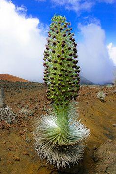 Argyroxiphium sandwicense macrocephalum - silversword   Flickr - Photo Sharing!