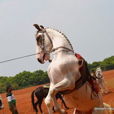 Healthy horses in Mahabaleshwar Polo Grounds