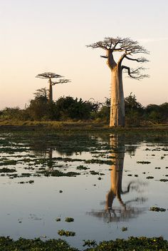Baobabs at sunrise -- Morondava, Madagascar