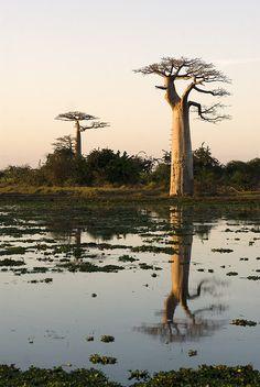 Baobabs at sunrise -- Morondava, Madagascar