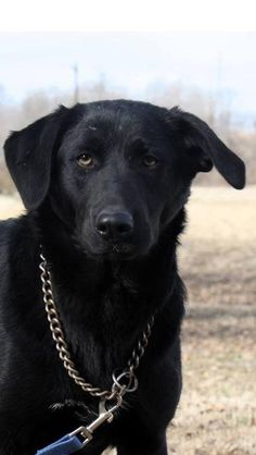 Popcorn is an adoptable Labrador Retriever, Chesapeake Bay Retriever Dog in Hatfield, PA Popcorn is a beautiful 10 month old Lab/Retriever pup that is looking for her forever home. Po ... ...Read more about me on @petfinder.com