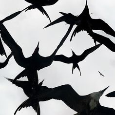 Frigatebirds in the Galapagos