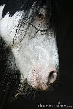 harness carriage draft horse Gyspy Vanner belgian cob shire hafflinger fjord clydesdales pinto frame sabino tobiano rabicano