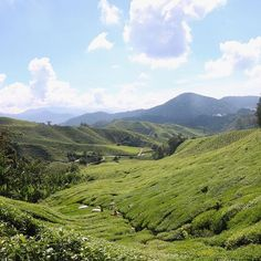 The tea plantations in the Cameron Highlands stretching as far as the eye can see
