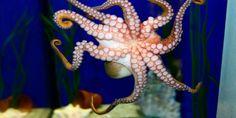 This octopus almost escaped from the aquarium
