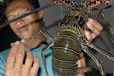 DKP Lebak Menghimbau Nelayan Untuk Mengembangkan Budidaya Lobster   Berita Daerah