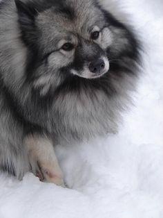 Keeshond | Cute animal...