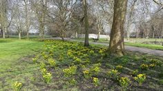 Daffodils and trees in a park