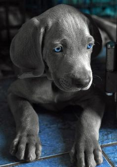 Weimaraner love. Cant wait to get our blue eyed baby <3