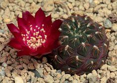 Sulcorebutia pulchra