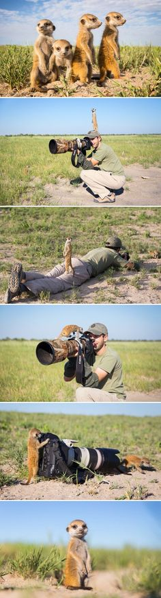 LOL! These critters are so adorable! Charismatic baby #meerkats in Botswana have a field day with this photographer.