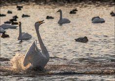 le lac Svetloe le vrai lac des cygnes 7   Le lac Svetloe en Sibérie: le vrai lac des cygnes   video Svetloe siberie russie photo oiseau lac ...