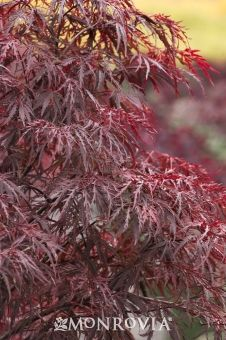 Monrovia's Red Dragon Japanese Maple details and information. Learn more about Monrovia plants and best practices for best possible plant performance.