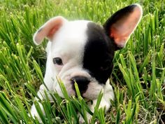 ~Paillote~ French Bulldog Puppy and sooooo cute with one ear up and one down ! Cute Puppies, Cute Dogs, Dogs And Puppies, Baby Animals, Funny Animals, Cute Animals, French Bulldog Blue, French Bulldogs, Purebred Dogs