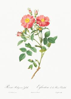 Botanical Flowers, Flowers Nature, Botanical Prints, Vintage Flower Prints, Vintage Flowers, Plant Illustration, Botanical Illustration, Queen Elizabeth Rose, Rose Trees