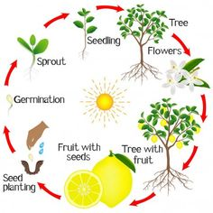 Easy English Grammar, Tree Seedlings, Strawberry Plants, Planting Seeds, Plant Care, Preschool Activities, Flora, Fruit, Sustainable Practices