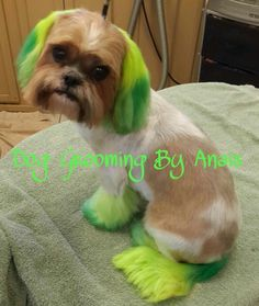 Ombre shih tzu love this!