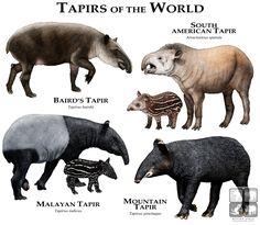 Tapirs of the World by rogerdhall.deviantart.com on @DeviantArt