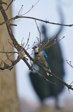 someday i will have a blue jay tattoo.