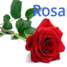 Rose | E rosa aki ta pa mi dushi - This rose is for my sweetheart! NEW LESSON ON: http://henkyspapiamento.com #new #papiamentu #papiaments #papiamento #aruba #bonaire #curacao #curaçao #instalike #like #caribbean #language #islandlife #island #beach #sun #tropical #exotisch #summer #words #wordoftheday #word #phrases #phrase