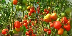 Tomato Garden, Growing Vegetables, Animals And Pets, Gardening, Garden, Agriculture, Plant, Crop Protection, Garten