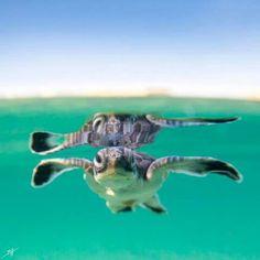 Tortoise, Puerto Rico