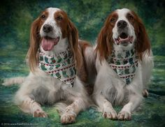 Mary O'Leary's two Red and White Irish Setters, decked out for the holidays. Just one of many photos—of many dogs and people—from our recent photo shoot at Hamilton Dog Training Club.
