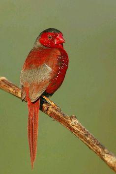 Crimson finch(Neochmia phaeton). Habita en Australia, Papua occidental, Indonesia y Papua Nueva Guinea.