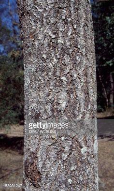 Himalayan Birch trunk (Betula utilis), Betulaceae