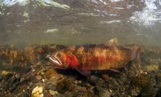 Fly Fish for yellowstone cutthroat trout